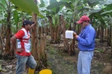 Ecuador Bananas Hacienda San Fermin