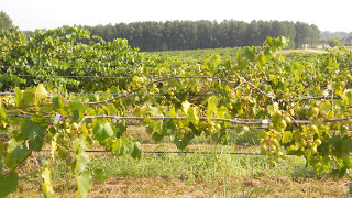 Muscadine Grapes without SG Quitman MS