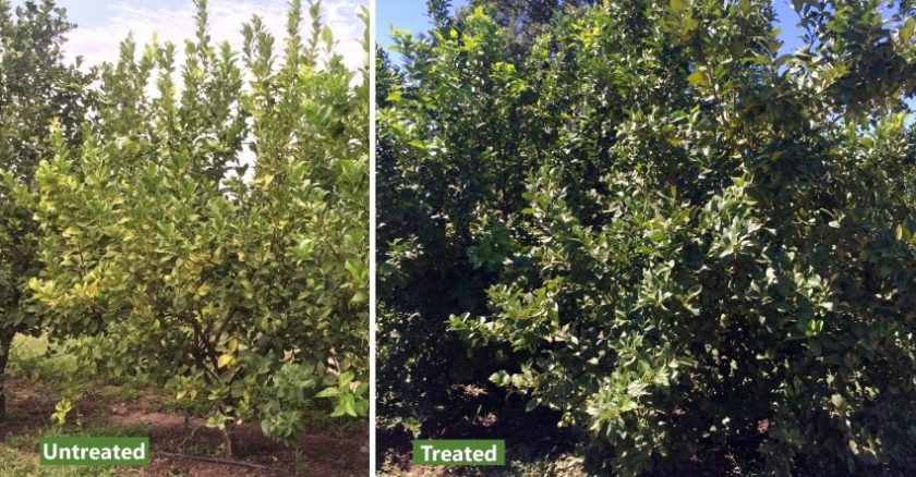 Organic-Citrus-Trees-South Africa Lemon
