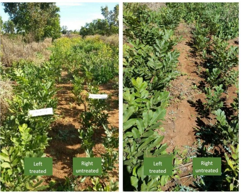 South Africa -- Pecan-Nut-Trees-control vs Treated