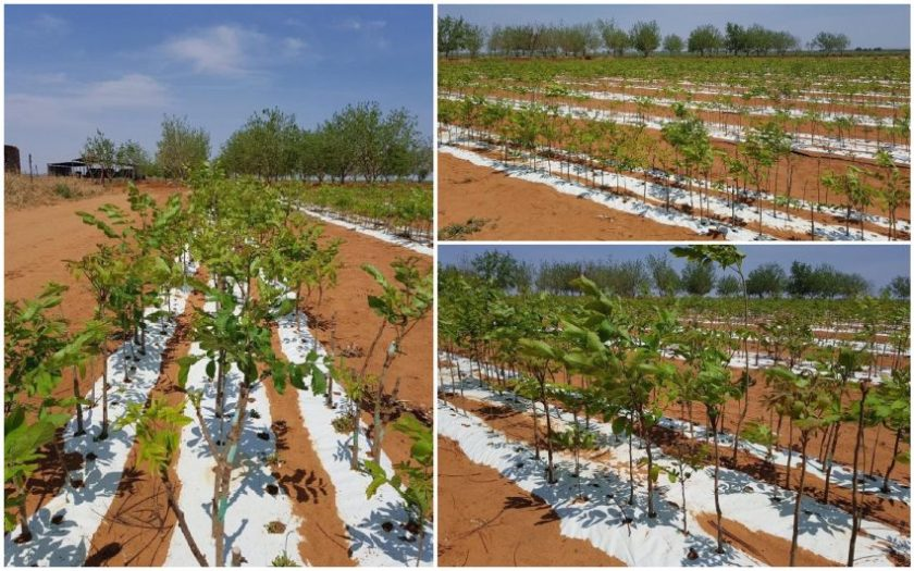 South Africa -- Pecan-Nut-trees-planted-with-ExploGrow-microbial-biofertiliser-doubled-growth-rate