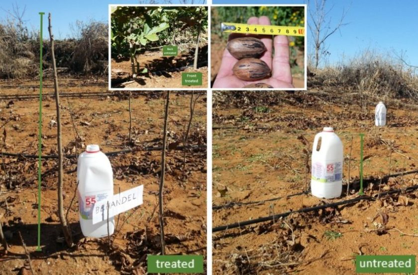 South Africa -- pecan tree transplant with bottle comparison
