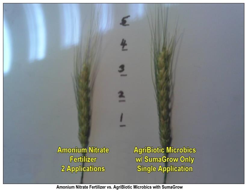 Texas Wheat Trial Agribiotics Wheat Tillers