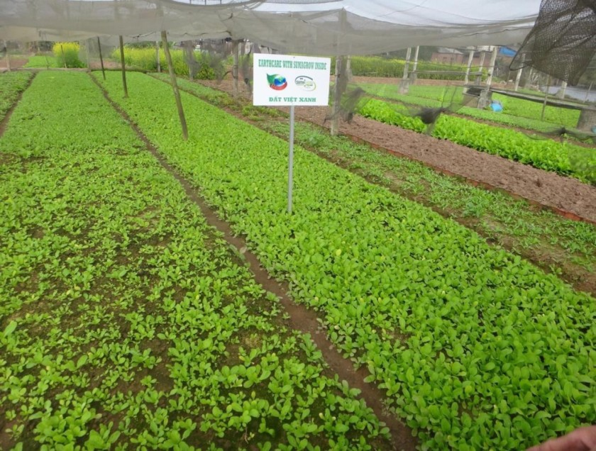 Vietnam Broccoli Trial rows
