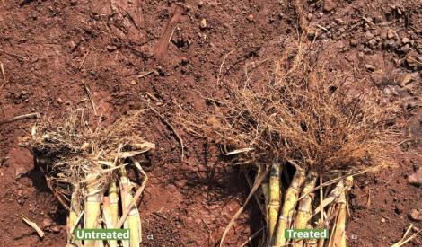 32.56% Increased Sugarcane Yield using SumaGrow pic 1