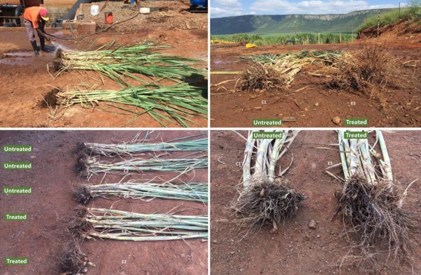 32.56% Increased Sugarcane Yield using SumaGrow pic 2