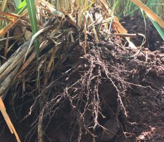 32.56-increased-sugarcane-yield-using-sumagrow-pic-3.png