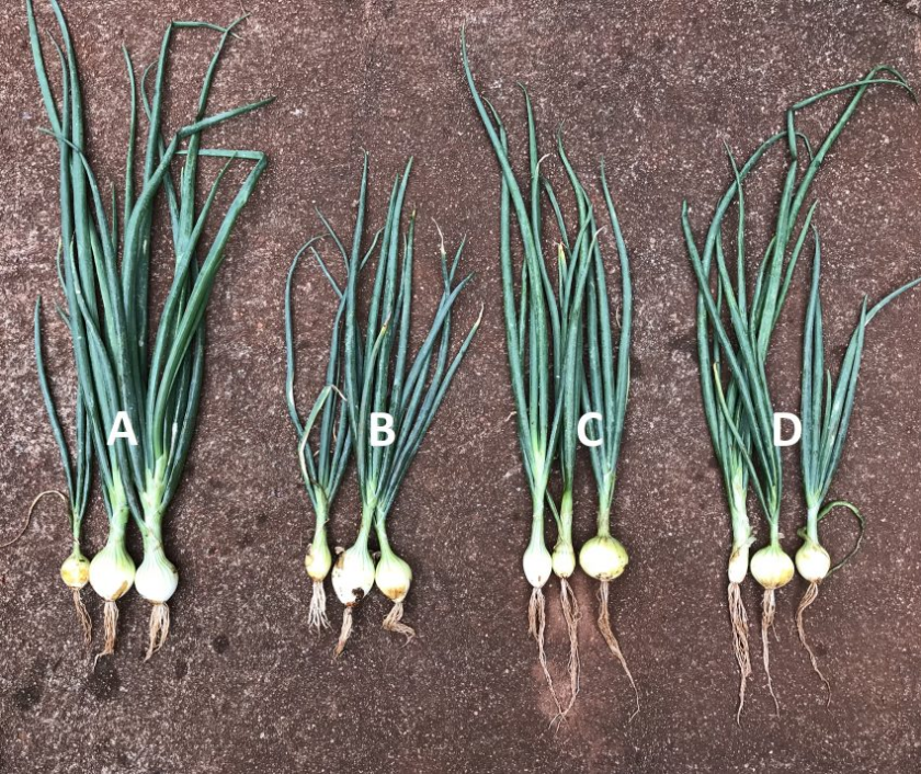 67.7% Increased Root Mass in Onion Crop pic 1