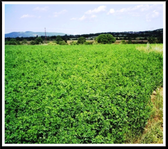 Greece – Alfalfa, Tomatoes, Peppers, and Eggplants pic 3