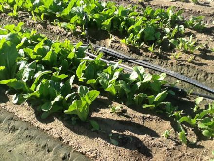 Joyful Farms Chinese Vegetables- Increased Harvest pic 4