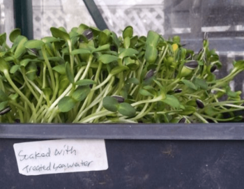 organic-sunflower-sprouts-pic-1.png
