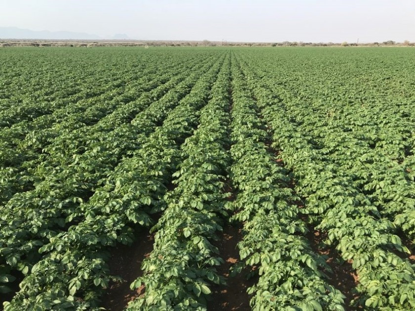 Potato Farmer with Record 88 tons per hectare- Limpopo, South Africa pic 1