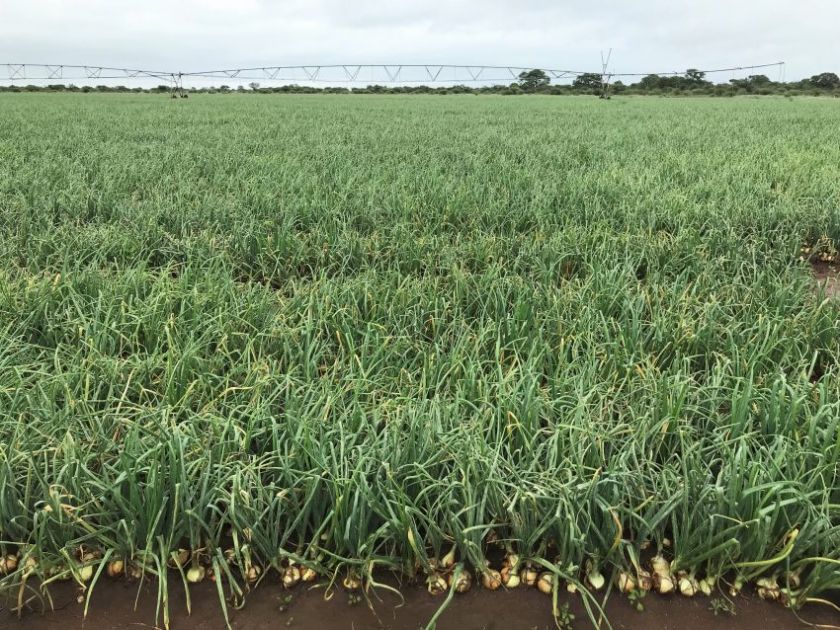 Record Onion Harvest Smashes Average Yields with an increase of 89.45% pic 1