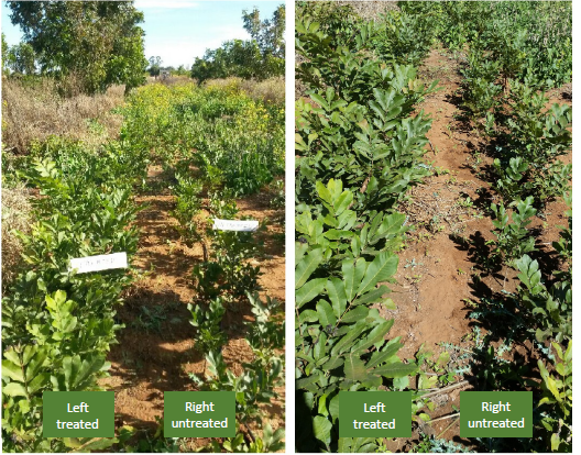 UPDATE - Pecan Nut Trees in South Africa- 40% Increase in Yield in Nuts pic 1