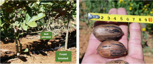 UPDATE - Pecan Nut Trees in South Africa- 40% Increase in Yield in Nuts pic 2