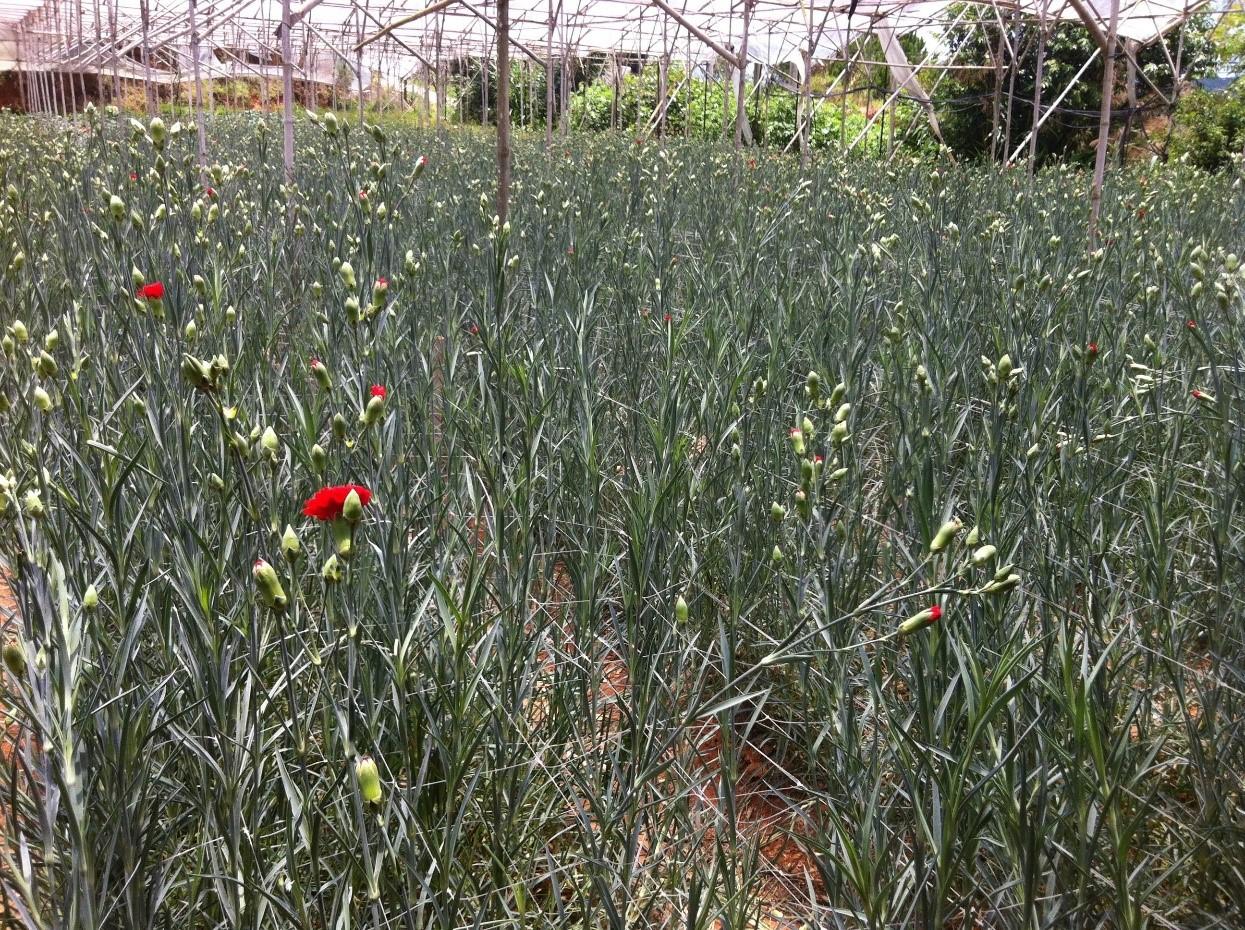 Carnations in Vietnam – 40% Yield Increase.jpg