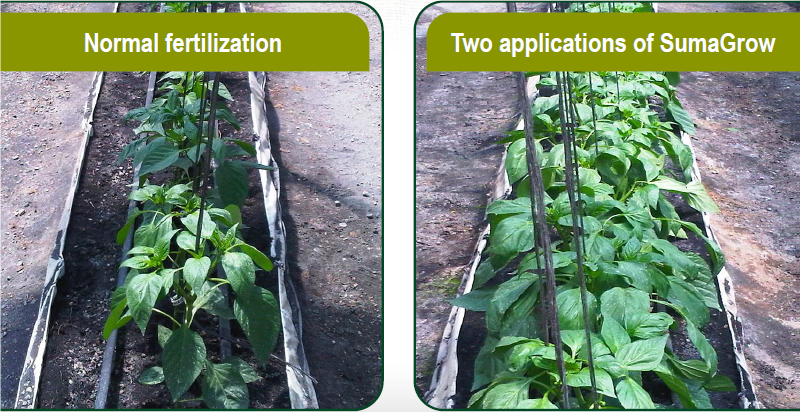 SumaGrow Increased the Weight of Bell Peppers in Dominican Republic by 14.3% pic 1