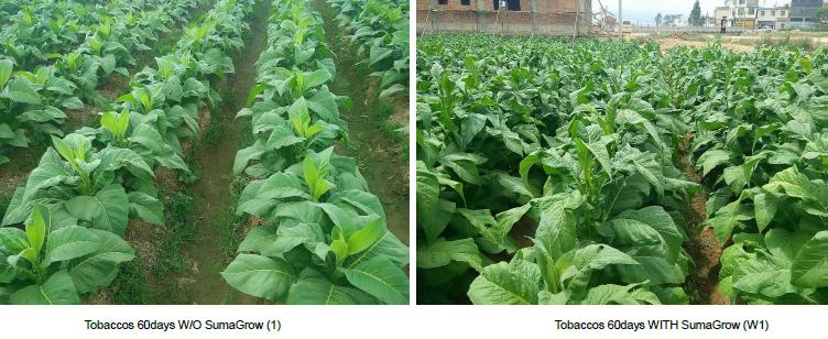 Tobacco – Yunnan, China pic 1
