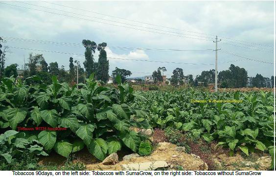 Tobacco – Yunnan, China pic 3